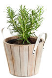 Rosemary in planting pot on white Royalty Free Stock Image