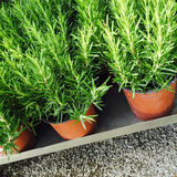 Rosemary plants in pots. Herbal garden stock photo