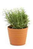 Rosemary in pot Stock Photos