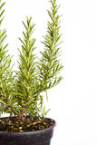 Rosemary in pot Stock Images