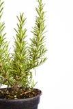 Rosemary in POT Immagini Stock