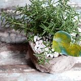 Rosemary pot with heart. On table to decorate indoor space, herbs with aroma and also use as ingredient culinary on white wooden background stock image