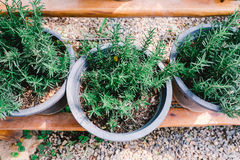 Rosemary pot in vintage color. Rosemary in flowerpot in daylight - vintage color Stock Photos