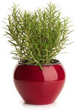 Rosemary in red  pot Stock Images