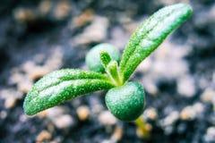 Rosemary rosemary, macro shot Twigs of rosemary and soil inside eco friendly plant pots stock photo