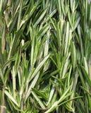 Rosemary (Rosmarinus officinalis). Of the family Lamiaceae (Lamiaceae). Background Stock Photography