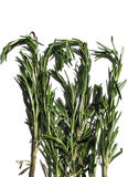 Rosemary (Rosmarinus officinalis) Stock Photography