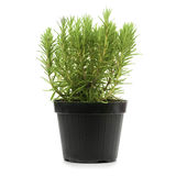 Rosemary, rosmarinus officinalis. Rosemary inside a black pot over a white background, rosmarinus officinalis Stock Photo
