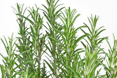 Rosemary (Rosmarinus officinalis). On white background Stock Image