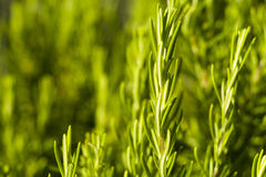 Rosemary (Rosmarinus officinalis). Rosemary in the mediterranean  landscape Royalty Free Stock Image