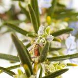 Rosemary(Rosmarinus officinalis). Blossoming twigs of rosemary(Rosmarinus officinalis) plant isolated on white background Stock Photo