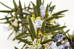 Rosemary(Rosmarinus officinalis) Royalty Free Stock Image
