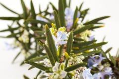 Rosemary(Rosmarinus officinalis). Blossoming twigs of rosemary(Rosmarinus officinalis) plant isolated on white background Royalty Free Stock Image