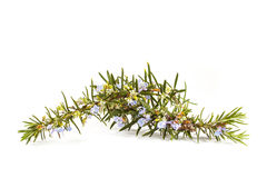Rosemary(Rosmarinus officinalis) Stock Images