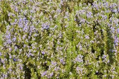 Rosemary (Rosmarinus officinalis)) Background Stock Photography