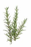 Rosemary (Rosmarinus officinalis). Blossoming branch of rosemary (Rosmarinus officinalis) isolated in front of white background Royalty Free Stock Images