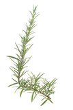 Rosemary (Rosmarinus officinalis) Royalty Free Stock Photo