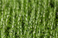 Rosemary (Rosmarinus officinalis) branches Stock Images
