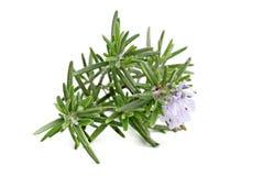 Rosemary, Rosmarinus officinalis. Royalty Free Stock Photography