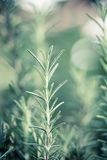 Rosemary (Rosmarinus Officinalis) Royalty Free Stock Photo