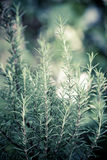 Rosemary (Rosmarinus Officinalis) Royalty Free Stock Images