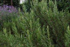 Rosemary - Rosmarinus officinalis. & x28;green& x29;, Harnes, Lens, Pas-de-Calais, Nord-Pas-de-Calais, Hauts-de-France, France Stock Photo