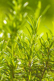 Rosemary Royalty Free Stock Images