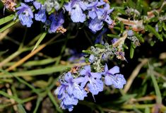 Rosemary, Rosmarinus officinalis. Aromatic evergreen shrub with linear leaves green above white beneath, and and white, purple to blue flowers, leaves used for Royalty Free Stock Photos