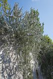 Rosemary rosmarinus officinalis under blue sky Royalty Free Stock Images