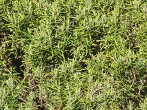 Rosemary (Rosmarinus) plant. Rosemary (Rosmarinus officinalis) woody perennial herb plant Royalty Free Stock Photos