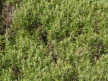 Rosemary (Rosmarinus) plant. Rosemary (Rosmarinus officinalis) woody perennial herb plant Stock Images