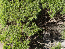 Rosemary (Rosmarinus) plant. Rosemary (Rosmarinus officinalis) woody perennial herb plant Royalty Free Stock Images