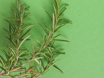 Rosemary (Rosmarinus) plant over green with copy space Stock Photo