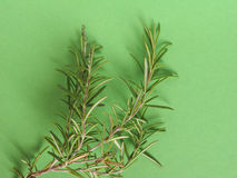 Rosemary (Rosmarinus) plant over green with copy space Royalty Free Stock Images