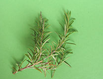 Rosemary (Rosmarinus) plant over green with copy space Royalty Free Stock Photo