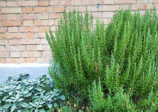 Rosemary and sage. Royalty Free Stock Photo