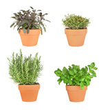 Rosemary, Sage, Basil and Silver Thyme. Rosemary, basil, purple sage and silver thyme herbs growing in terracotta pots over white background. From bottom right royalty free stock photo