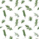 Rosemary seamless pattern Stock Photo