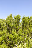 Rosemary shrub against blue sky Stock Image