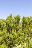 Rosemary shrub against blue sky Stock Image