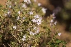 Rosemary shrub Royalty Free Stock Image