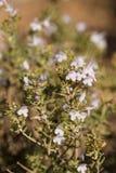 Rosemary shrub Stock Photo