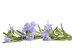 Rosemary sprig in flowers Stock Photography