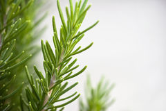 Rosemary Sprigs on Gray Background Royalty Free Stock Photo