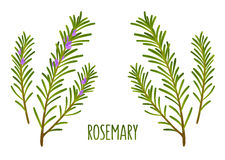 Rosemary sprigs. Hand drawn decoration element, green rosemary sprigs with and without flowers. Vector floral illustration Royalty Free Stock Photography