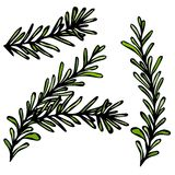 Rosemary Sprigs With Leaves fraîche Illustration de vecteur de nourriture et d'épice Photo libre de droits