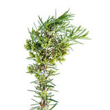 Rosemary sprigs tied in bundle isolated on white background. Fresh Rosemary sprigs tied in bundle isolated on white background Stock Images