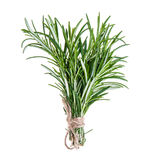 Rosemary sprigs tied in bundle isolated on white background. Fresh Rosemary sprigs tied in bundle isolated on white background Royalty Free Stock Images