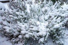 Rosemary struik in de winter met sneeuw wordt behandeld die royalty-vrije stock foto