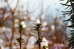 Rosemary in sunny snow. In my garden royalty free stock photos